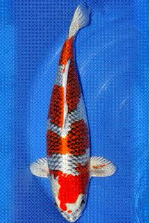 Madison koi species identification wisconsin for Orange koi fish meaning