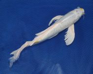 13 inch Platinum Ogon Butterfly 010